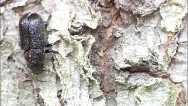 a spruce beetle crawls down a tree. - plant bark stock videos & royalty-free footage