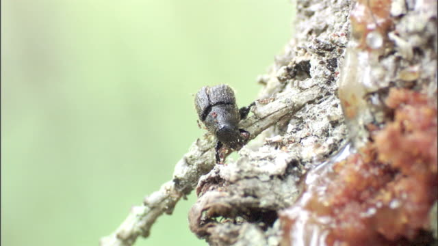 a spruce beetle gnaws on a tree. - plant bark stock videos & royalty-free footage