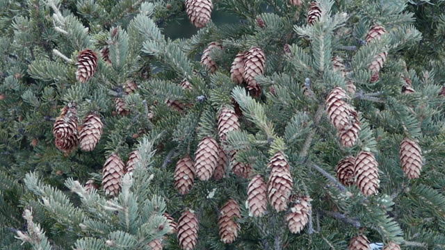 spruce cones and frosty in yellowstone national park, wyoming, in winter - 針状葉点の映像素材/bロール