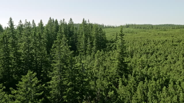 aerial spruce forest surrounding dwarf pines growing in lovrenc moor, slovenia - pine tree stock videos & royalty-free footage