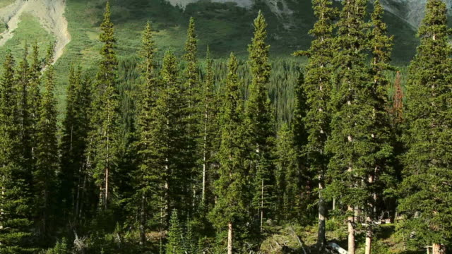 hd: spruce forest - banff stock videos & royalty-free footage