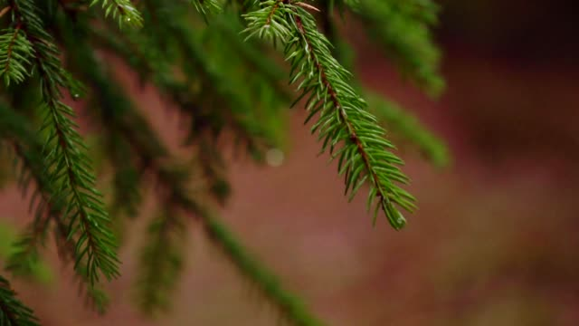 spruce needles - christmas tree stock videos & royalty-free footage