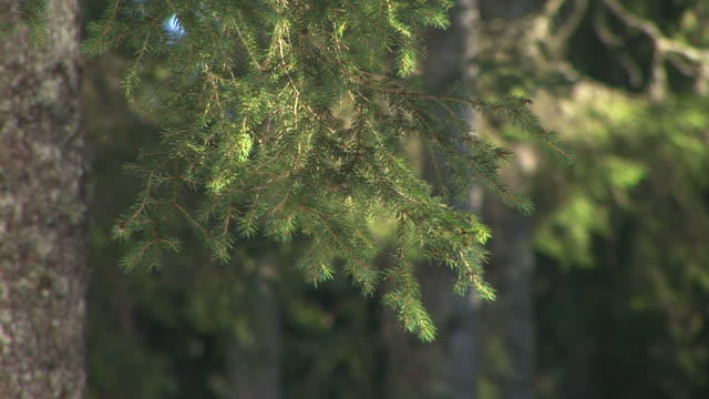 hd: spruce tree branches - swaying stock videos & royalty-free footage