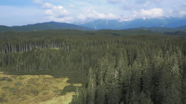 AERIAL Spruce tree forest canopy