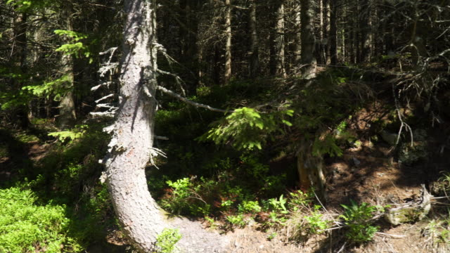 spruce tree forest - spruce stock videos & royalty-free footage