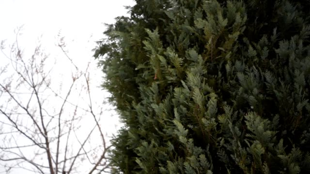 spruce tree in winter - spruce stock videos & royalty-free footage
