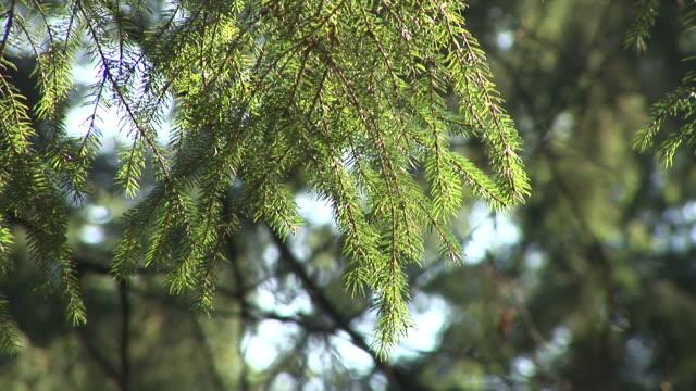 HD: Spruce tree