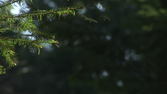 hd :トウヒのツリー - 針状葉点の映像素材/bロール