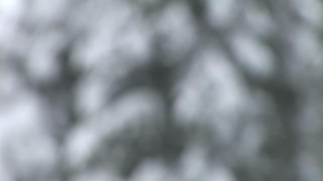hd: spruce tree - spruce tree stock videos & royalty-free footage