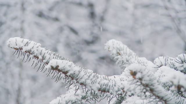 HD SLOW MOTION: Spruce Twig In Snow