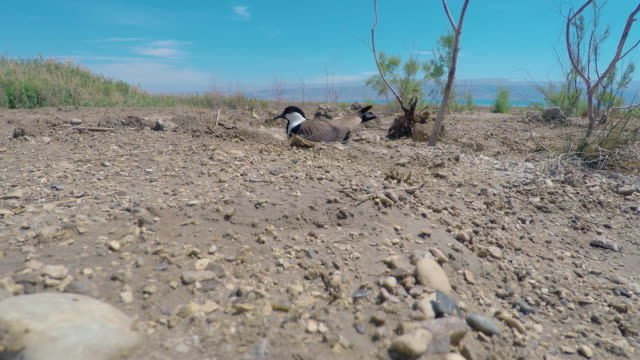 spur-winged plover - maul stock-videos und b-roll-filmmaterial