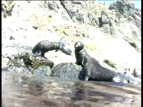 spy hopping surfacing and submerging at coast towards baby fur seals - surfacing stock videos & royalty-free footage