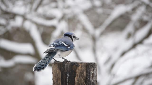 squabbling blue jays - turf stock videos & royalty-free footage