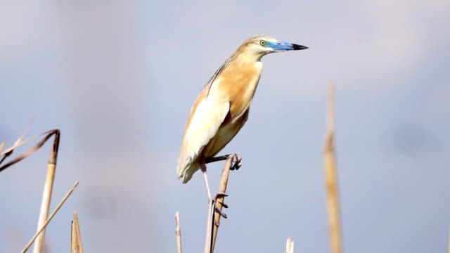 squacco heron - natural parkland stock videos & royalty-free footage