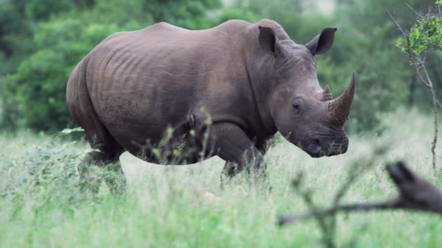a square-lipped (white) rhinoceros in kruger national park - großwild stock-videos und b-roll-filmmaterial