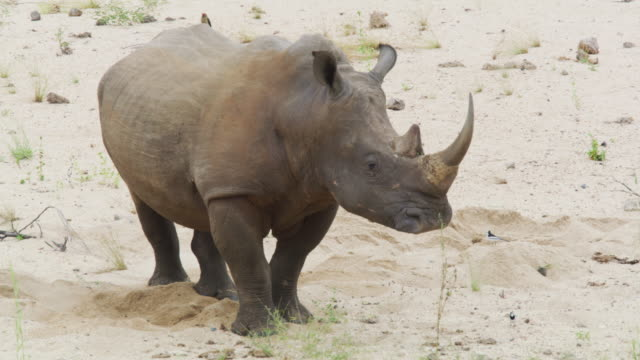 a square-lipped (white) rhinoceros in kruger national park - erbivoro video stock e b–roll