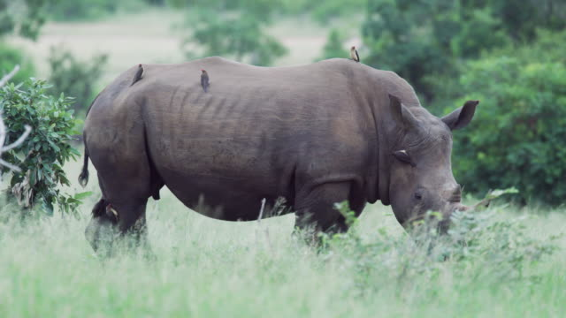 a square-lipped (white) rhinoceros in kruger national park - mpumalanga province stock videos and b-roll footage