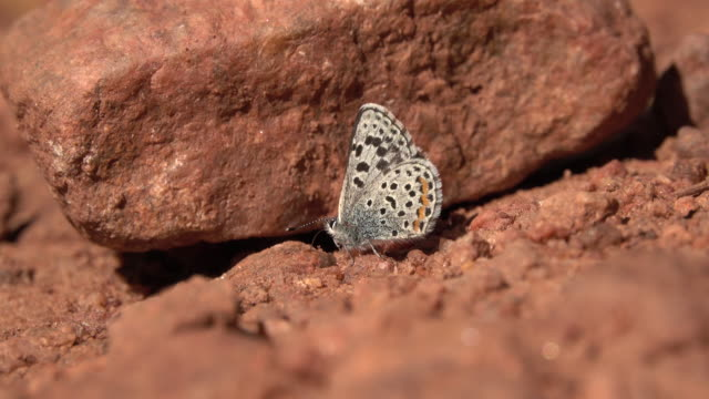 Square-spotted blue butterfly feeds on minerals Morrison Colorado