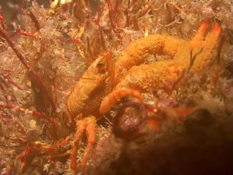 squat lobster  - 少於10秒 個影片檔及 b 捲影像