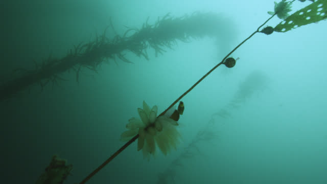 squid eggs attached to kelp frond, falkland islands - frond stock videos & royalty-free footage