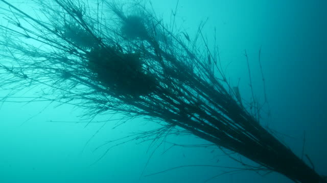 Squid eggs on bamboo artificial reef