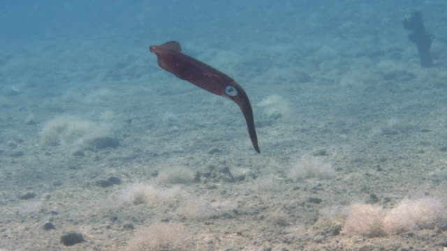 squid swimming