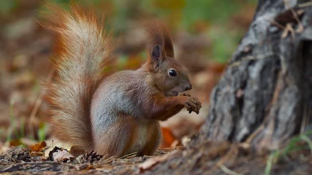 squirrel behavior in autumn. how squirrels find food supplies - nut food stock videos & royalty-free footage