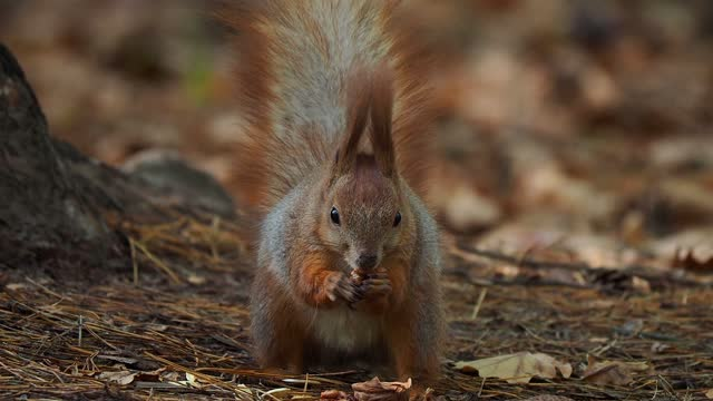 squirrel behavior in autumn. how squirrels hide food for the winter - hiding stock videos & royalty-free footage