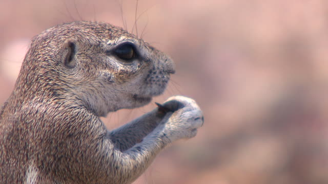 cu squirrel eating at kgalagadi transfrontier park / northern province, south africa - herbivorous stock videos & royalty-free footage