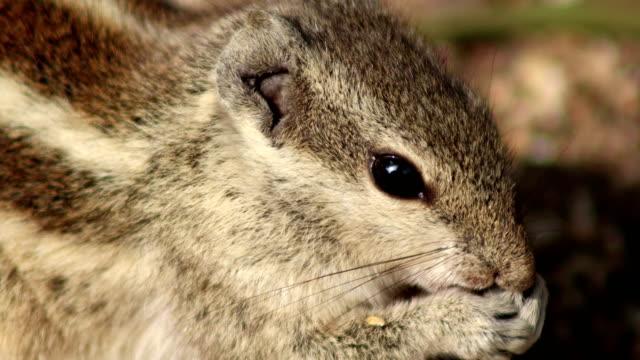 食べ物を食べるリス - シマリス点の映像素材/bロール