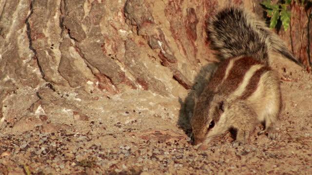 vídeos de stock e filmes b-roll de squirrel eating food - roedor