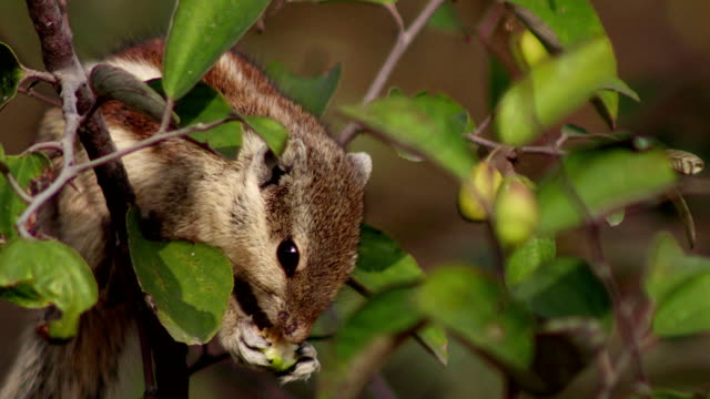 squirrel eating jujube fruit - rodent stock videos & royalty-free footage