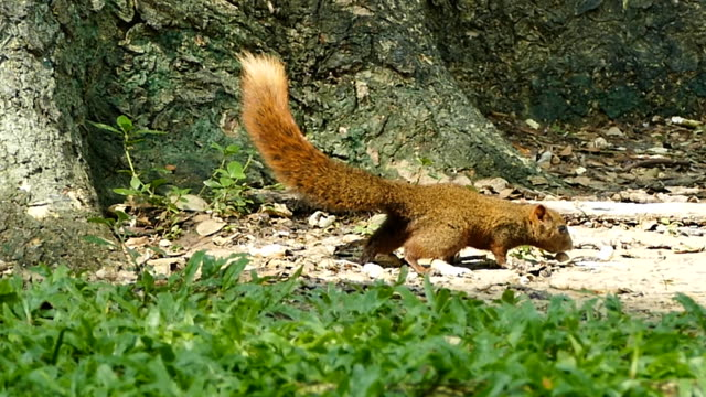 squirrel eating lunch - husking stock videos & royalty-free footage