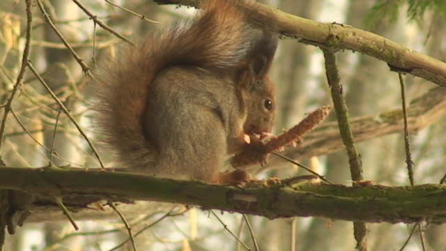 squirrel eating spruce cone (part four) - spruce stock videos & royalty-free footage