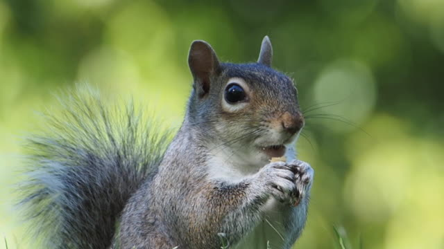 squirrel eating - rodent stock videos & royalty-free footage