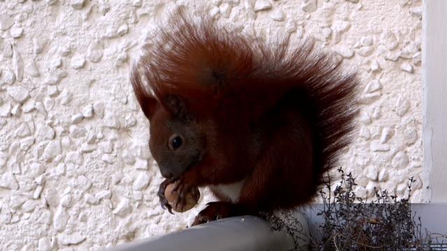 vídeos de stock e filmes b-roll de esquilo ingere - fruto seco