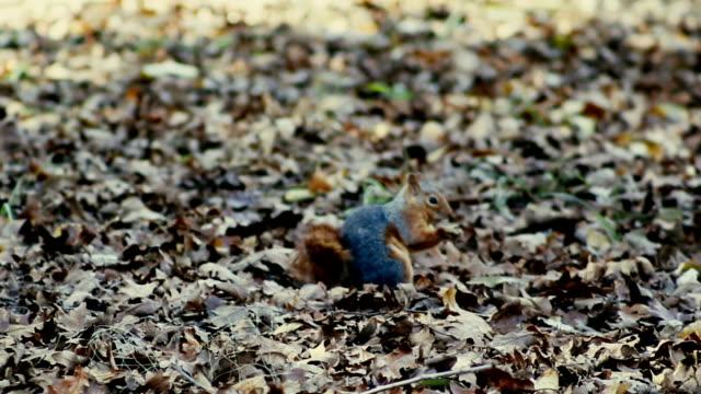 Squirrel - Feeding - Stock Video