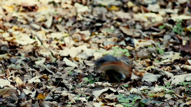 squirrel - feeding with nut - stock video - nut food stock videos & royalty-free footage