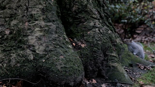 squirrel finding dried nuts in the park - documentary footage stock videos & royalty-free footage