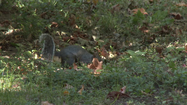 vídeos de stock, filmes e b-roll de squirrel foraging for nuts / acorns - flushing meadows corona park
