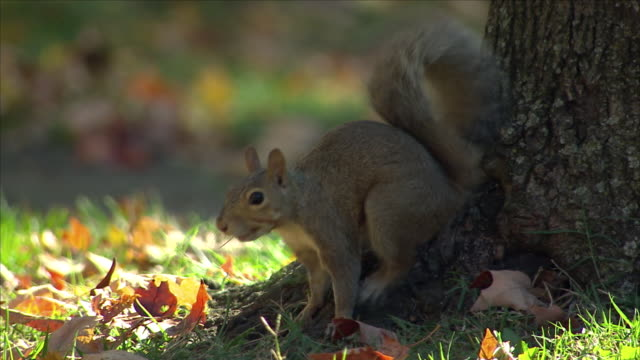 squirrel foraging in a park - tail stock videos & royalty-free footage