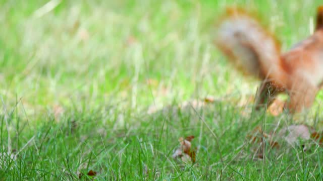 squirrel hides a food in grass - hiding stock videos & royalty-free footage