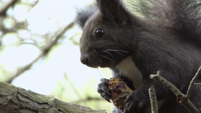 vídeos y material grabado en eventos de stock de a squirrel holding a pine cone in uljin geumgang pine forest / uljin-gun, gyeongsangbuk-do, south korea - pinar