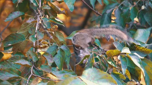 stockvideo's en b-roll-footage met squirrel in chiaksan national park / wonju-si, gangwon-do, south korea - foerageren