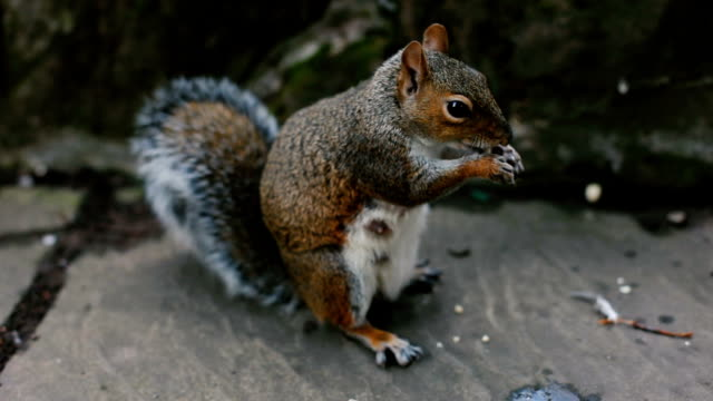 squirrel in the city - chipmunk stock videos & royalty-free footage