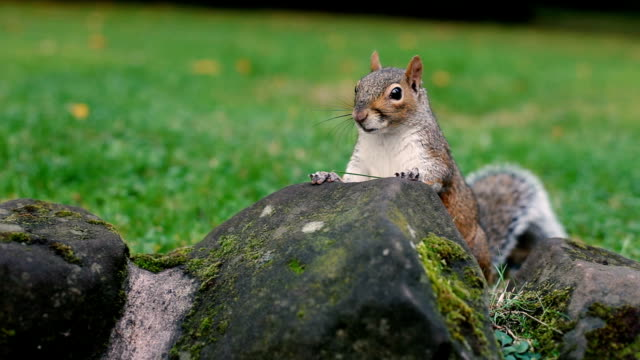 squirrel in the city - nut food stock videos & royalty-free footage