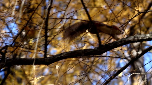squirrel in the forest - tail stock videos & royalty-free footage