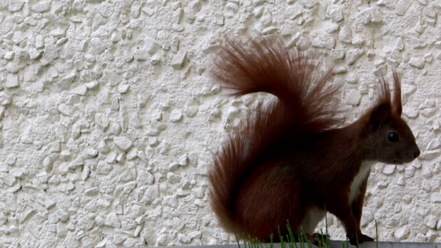 squirrel in the wind - animal abdomen stock videos and b-roll footage