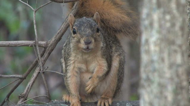 squirrel in the woods 1 - hd 1080/30f - squirrel stock videos and b-roll footage