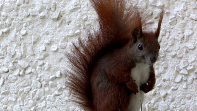 squirrel looking in the camera - animal abdomen stock videos and b-roll footage